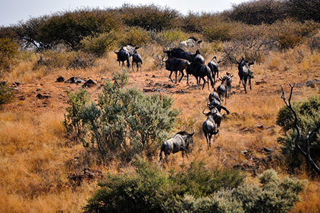 Blue Wildebeest, Panorama Hunting, Namibia